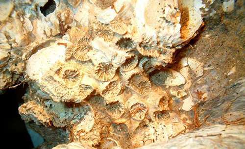 corallo_fossile